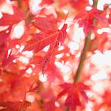 Multiple red autumn maple leaves.