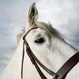 White horse&#39;s head wearing bridle.