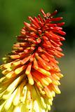Red Hot Poker - kniphofia