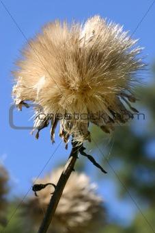 Cardoon - Cynara cardunculus L