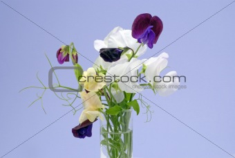 beautiful sweet peas
