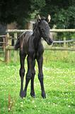 Standing Foal