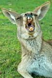 Yawning Kangaroo