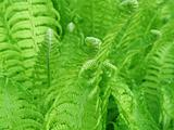 Detail of a fern