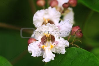 Catawba or Catalpa Blossoms