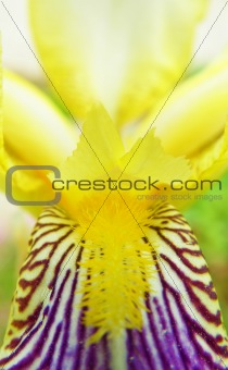 abstract detail of blooming iris