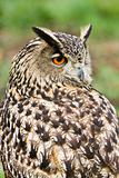 Eagle owl looking backward
