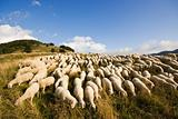 Sheep grazing on a high pasture