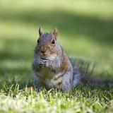 Seed eating squirrel