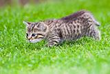 little kitten playing on the grass