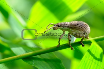 A white Weevil