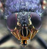 Housefly