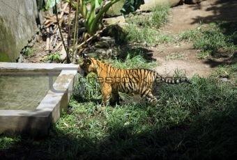 Tiger Indian