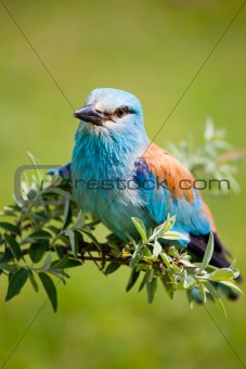 Portrait of an European Roller sitting on a branch
