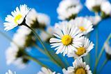 Daisy closeup