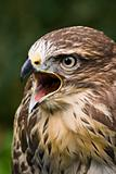 Screaming buzzard