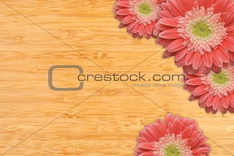 Bright Pink Gerber Daisies with Water Drops on a Bamboo Wood Background with Copy Space.