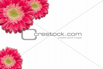 Bright Pink Gerber Daisies with Water Drops on a White Background with Copy Space.
