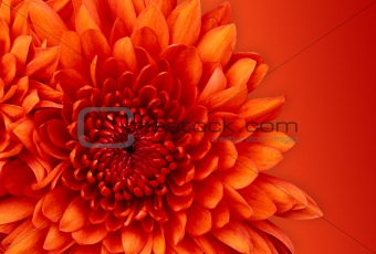 Chrysanthemum Digital Art