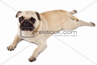 pouting pug