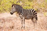 Single zebra standing in the bush