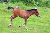 Cute foal running