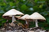Wood mushrooms, Agaricus silvicola.