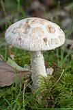 White false deathcap.