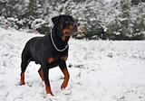 rottweiler in the snow
