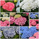 pink blue and white Hydrangea (Hortensia)