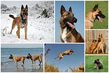 belgian shepherd malinois
