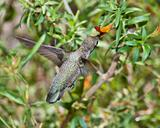 Female Broad-Billed Hummingbird feeding