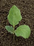 egg-plant seedling