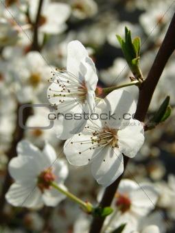 beautiful spring flowering