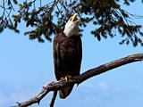 Bald Eagle Call