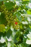 Currants on shrub