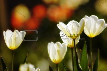 Beautiful spring tulips - flowers