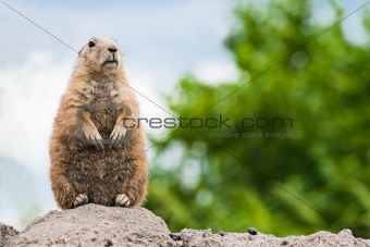 Prairie dog standing watchful on burrow