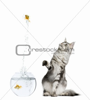 Cat watching goldfish leaping out of goldfish