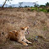 Lioness lying down and yawning
