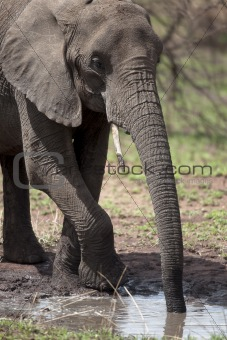 African elephant drinking