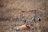 Cheetah with prey