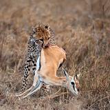 Cheetah carrying prey