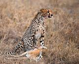 Cheetah sitting and eating prey