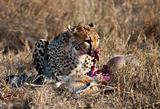 Cheetah eating prey