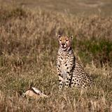 Cheetah sitting with prey