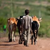 Rear view of boy with herd of cattle