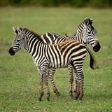 Two zebras
