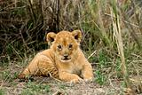 Front view of lion cub