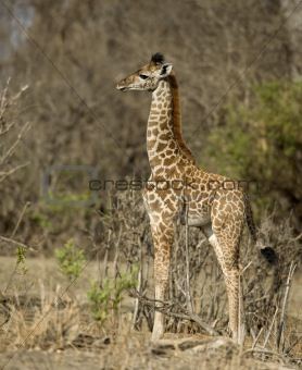 Side view of giraffe calf standing in grassland